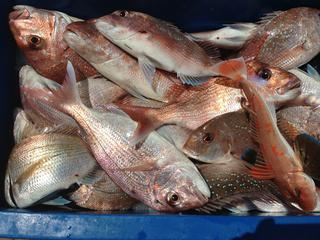 Bin full of Snapper